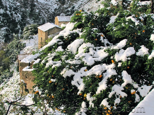 Our mandarin tree under the snow