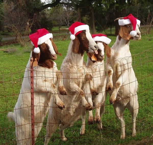 Fandrich reindeer from KCRA.com