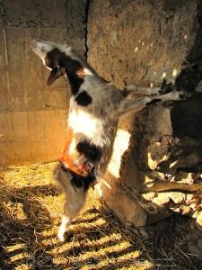 Yeeeeehaw! Goat