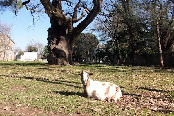 La dolce vita della capra