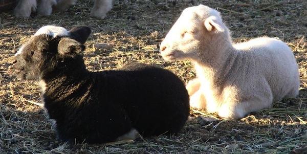 Black lamb, white lamb