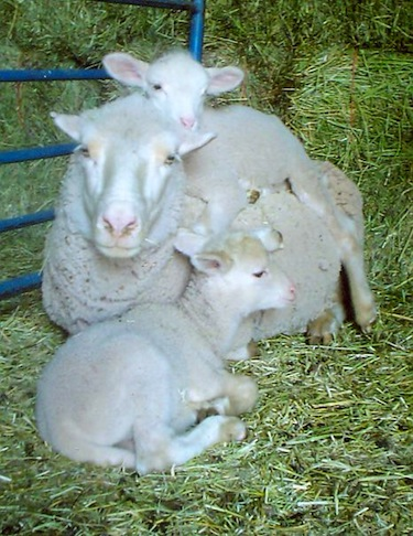 Mom with new lambs