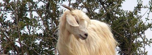 Goat in tree in Africa