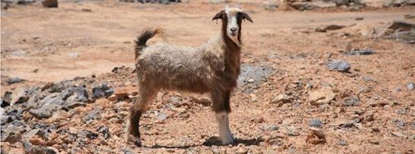 Oman goat