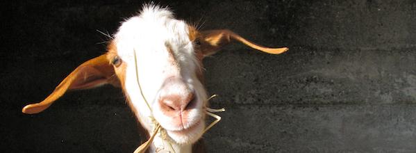 Pasqualina the goat
