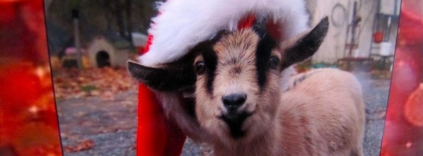 Puget Sound Rescue Christmas Goat