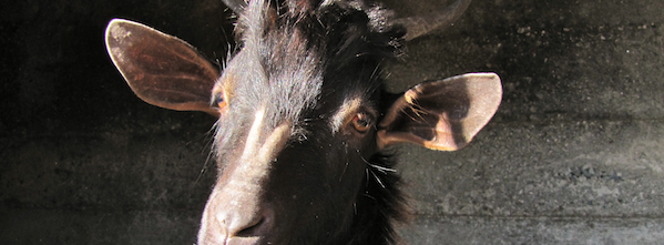 Calabrian goat that headbutts