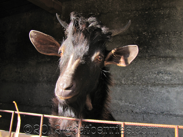 Calabrian goat