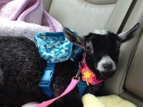Lilly the pygmy goat
