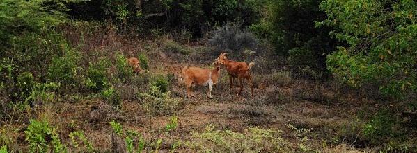 Anguillian Goats