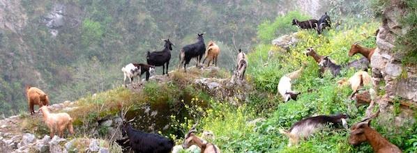 Goats goats goats galore!
