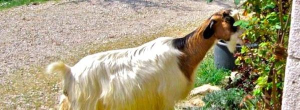 Tuscan goat