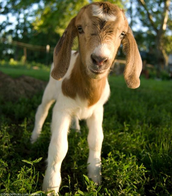 Baby goat courtesy of PETA